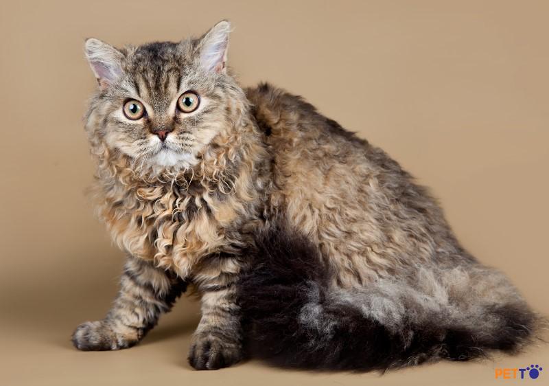 Mèo Selkirk Rex là một giống mèo có kích cỡ trung bình đến lớn