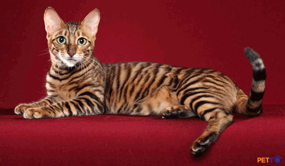 Hình ảnh về giống mèo Toyger