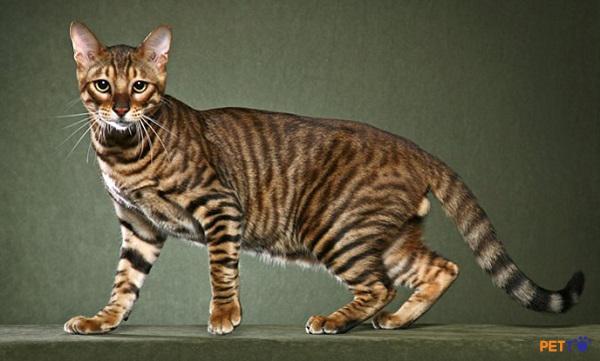 Mèo Toyger được tạo ra bằng cách lai tạo giữa mèo mướp và mèo Bengal