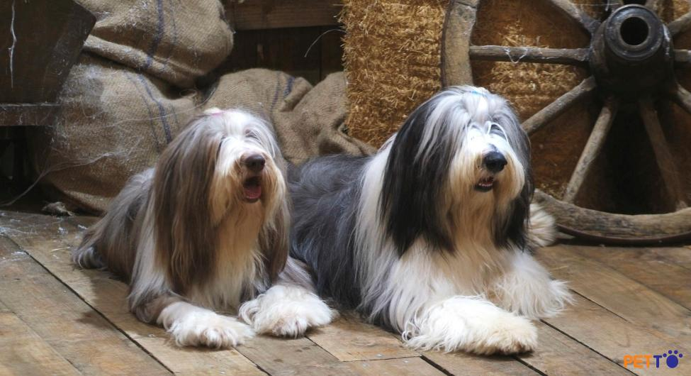 Chó chăn cừu râu dài Bearded Collie có kích cỡ trung bình: chiều cao tầm 49 – 54 cm