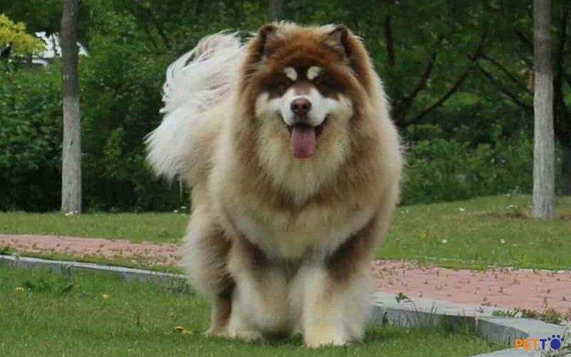 Alaska là loại chó được yêu thích trên toàn thế giới bởi dáng vẻ oai hùng nhưng không kém phần đáng yêu.