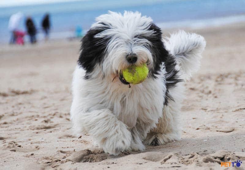 chó chăn cừu râu dài Bearded Collie là một giống chó sinh sống ở vùng cao nguyên Scotland