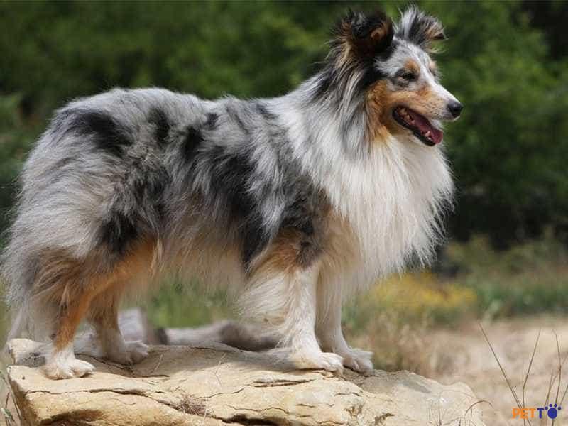Chó chăn cừu Úcnên được cho ăn bằng thức ăn cho chó chất lượng cao.