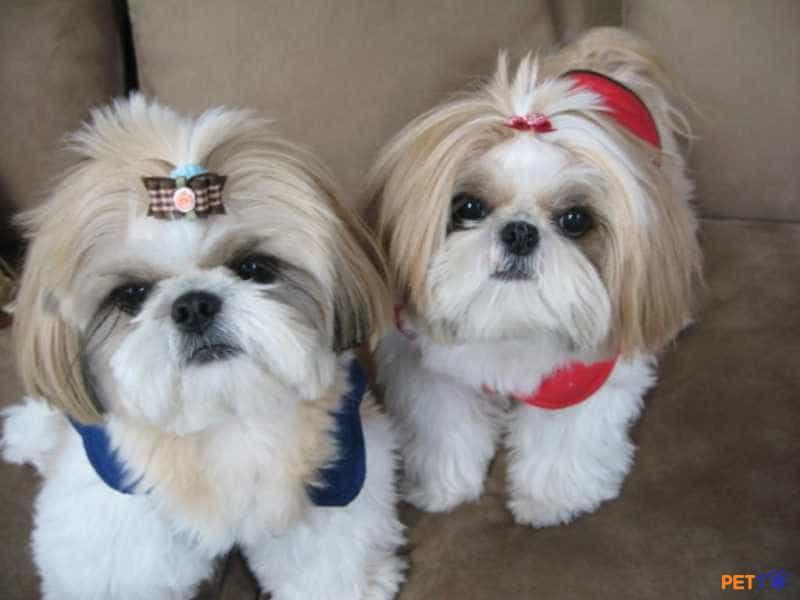 Shih Tzuthuộc Top 14 giống chó xuất hiện lâu đời nhất trên thế giới.