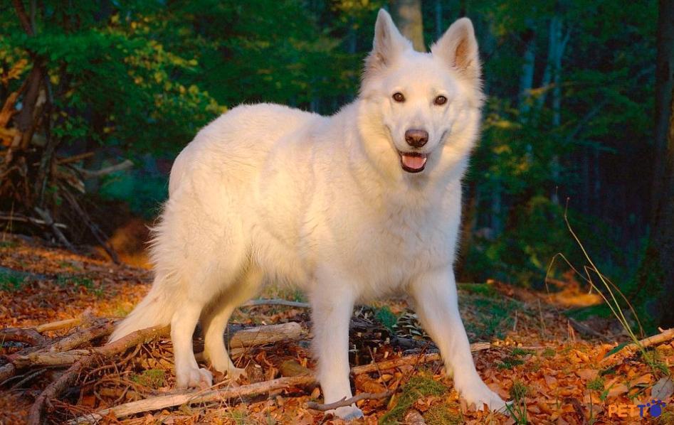 Chó chăn cừu trắng Thụy Sĩ có kích cỡ trung bình: chiều cao tầm 55 – 65 cm