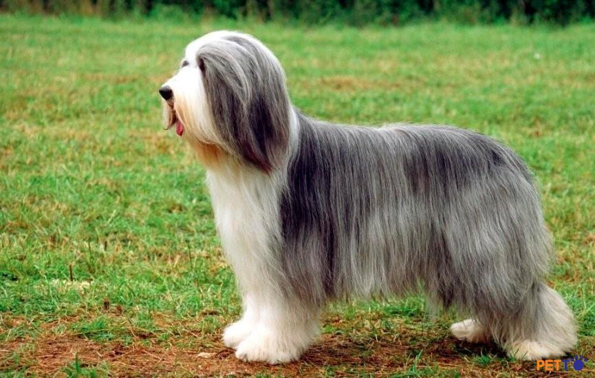 Chó chăn cừu râu dàinên được cho ăn bằng thức ăn cho chó chất lượng cao.