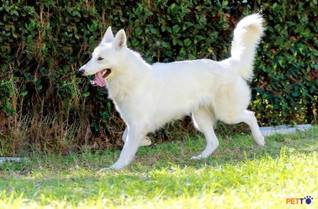 Phần đầu của chó chăn cừu trắng Thụy Sĩ có hình nêm với đôi mắt quả hạnh màu nâu đậm hoặc nâu vàng