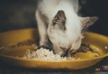 Những điều cần chú ý khi mèo ăn cơm bị tiêu chảy