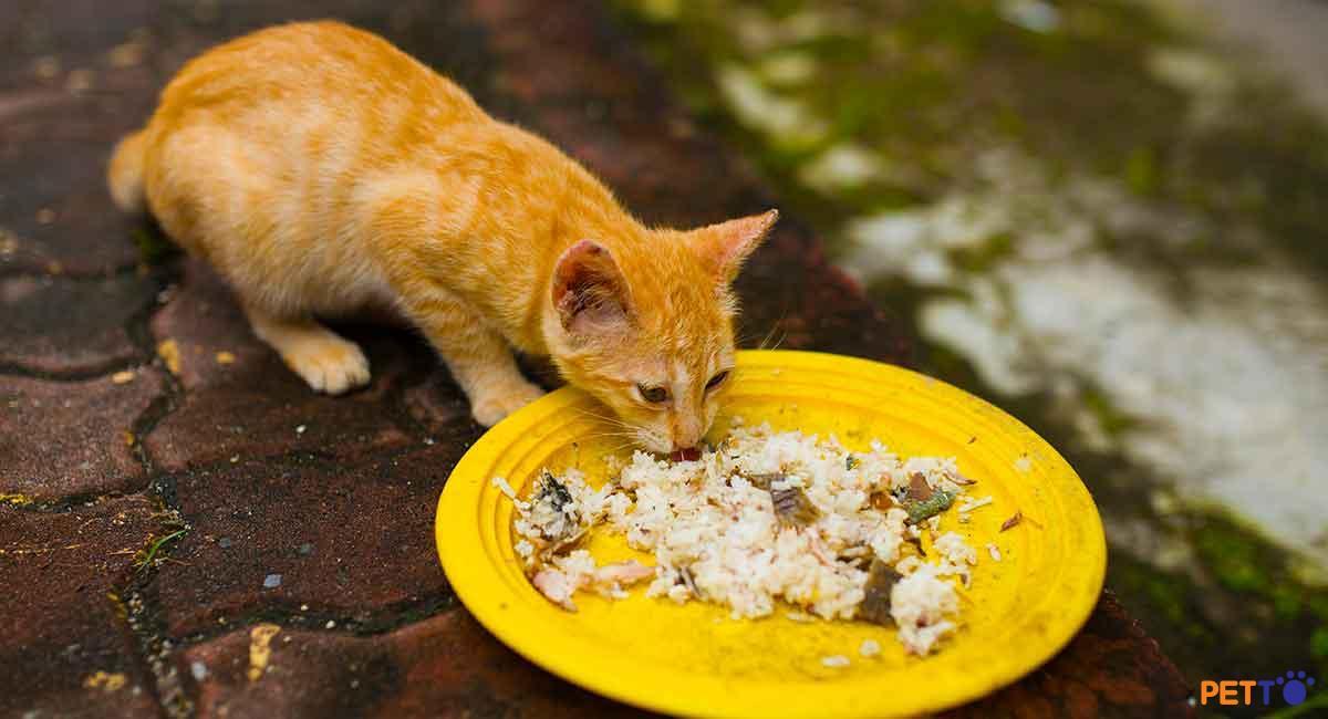 Có nhiều nguyên nhân dẫn đến tình trạng mèo ăn cơm bị tiêu chảy